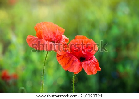 red poppy on a green background - stock photo