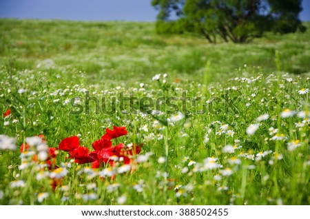 Red poppy on green agricultural field - spring wallpaper - stock photo