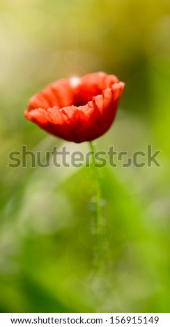 Red poppy on green background - stock photo