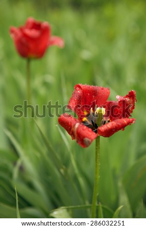 red poppy on the background of green grass. summer day - stock photo