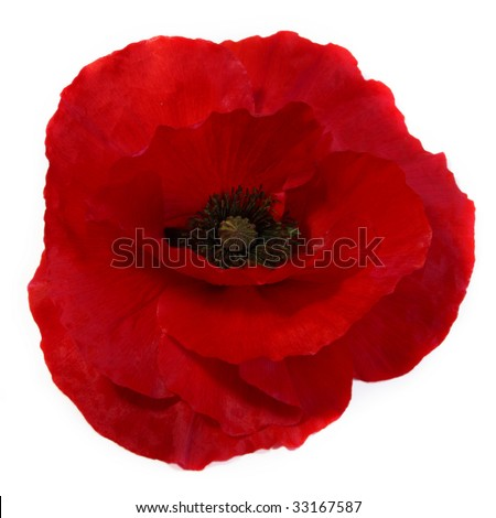 Red poppy on white background - stock photo