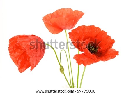 Red poppy on white bottom