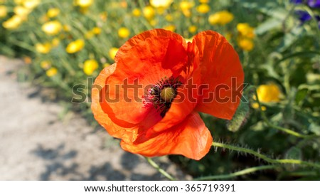 Red poppy, Papaver, blooming, background with summer flowers  - stock photo