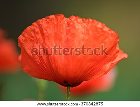 Red poppy, Red poppy close up on green grass background, single poppy, spring summer flower, peprina, red flower, poppy. Poppy flower in blurry motion - stock photo