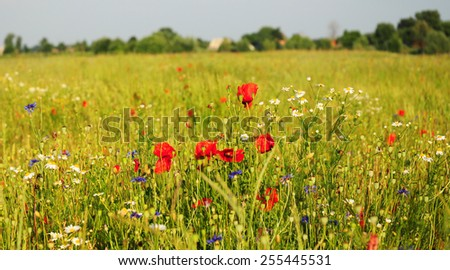 Red Poppy, White Chamomile and Blue Cornflower flowers field landscape  at sunset light - stock photo
