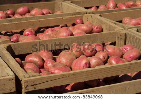 Red Potatoes Freshly Dug from Field in Crates - stock photo