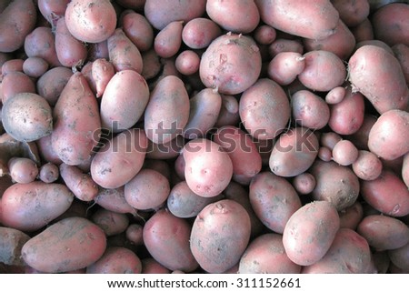 red potatoes from small czech home farm       - stock photo