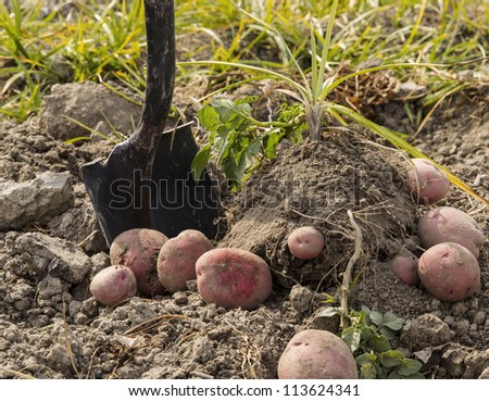 Red potatoes on ground with shovel and plants in background - stock photo