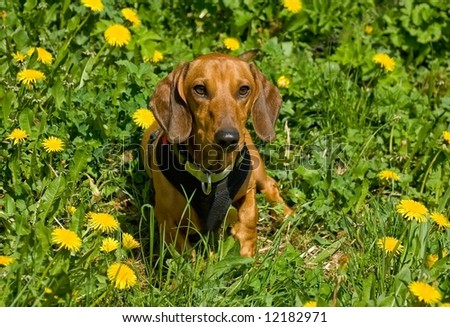 Red pretty Dachshund dog by the sun with dandelions - stock photo