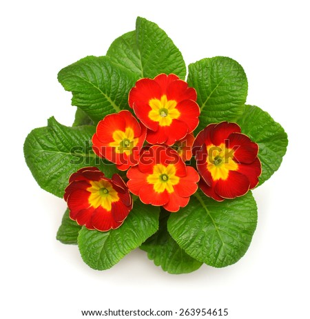 Red primrose closeup isolated on white background - stock photo