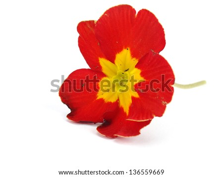 Red primula flowers on a white background