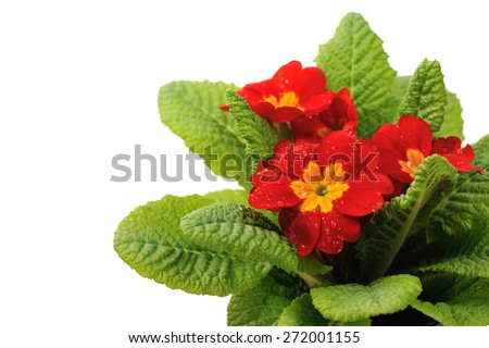 red primula with rain drops isolated on white background - stock photo