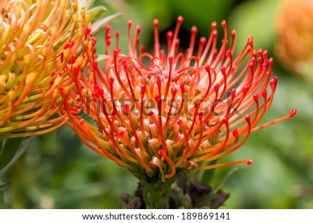 Red protea, the national flower of South Africa - stock photo