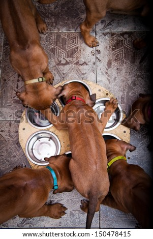 red puppies eat - stock photo