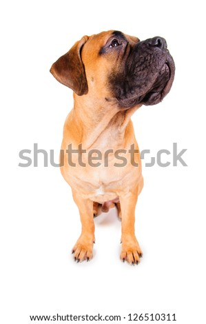 red puppy bullmastiff sitting on a white background, isolated. dog 7 months old. photo with perspective distortion - stock photo