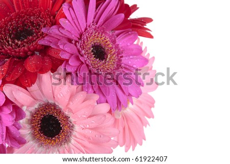 red purple Gerbera flowers isolated on white
