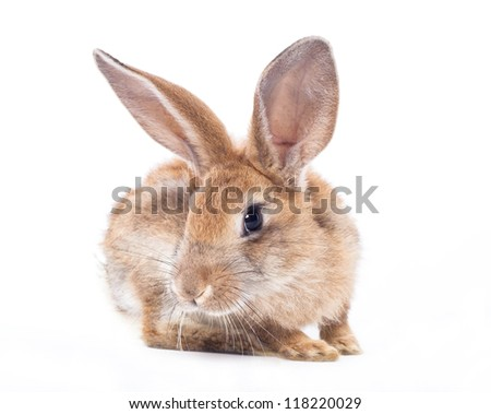 Red rabbit  on a white background - stock photo