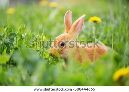 red rabbit outdoor