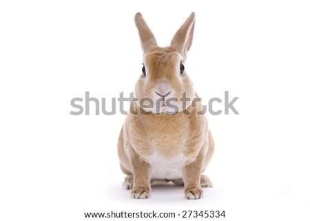Red rabbit sitting - stock photo