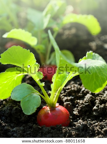 Red radish in bed - stock photo