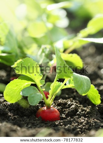 Red radish on bed - stock photo