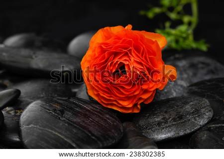 Red ranunculus and black stones  - stock photo