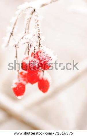 Red rawanberry under the snow in frosty day - stock photo