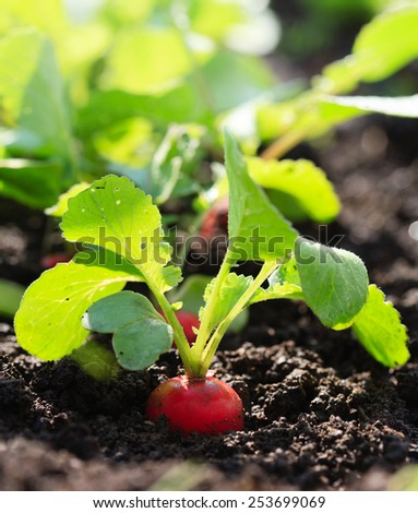 Red reddish on garden spring bed - stock photo