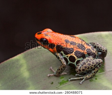 red reticulated poison arrow frog or dart frog Ranitomeya reticulata a poisonous small animal from the Amazon jungle of Peru