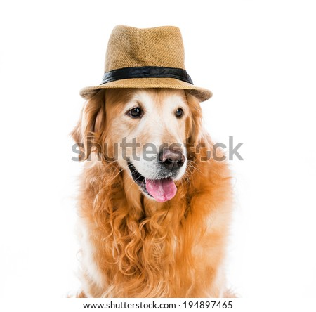 red retriever in a brown hat on white background - stock photo