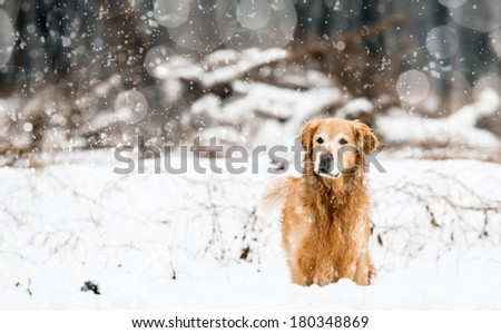 red retriever in the snow in winter