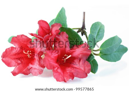 Red Rhododendron Azalea Flower and Leaves - stock photo