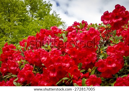 Red Rhododendron blooms on bush - stock photo