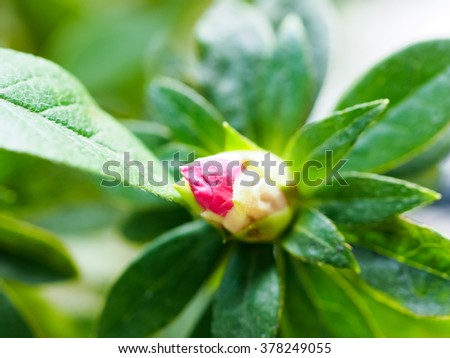 Red Rhododendron bud on bush - stock photo