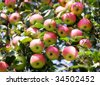 red ripe apples on the tree - stock photo