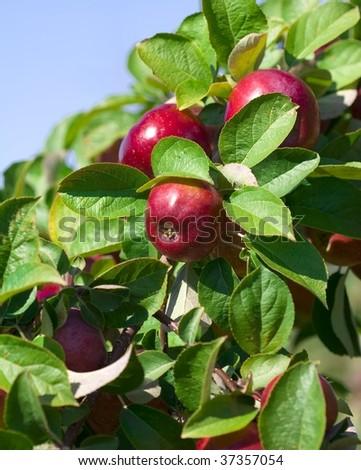 Red Ripe Apples Still on Tree - stock photo