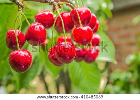 Red ripe berries of sweet cherries on a branch close-up on blurred background of green leaves and brick wall on a sunny summer day. Selective focus - stock photo