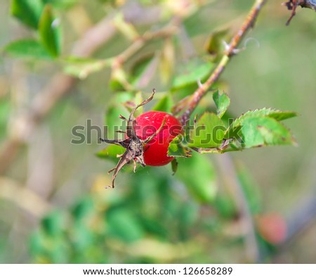 red ripe berries rose hips on a branch closeup - stock photo