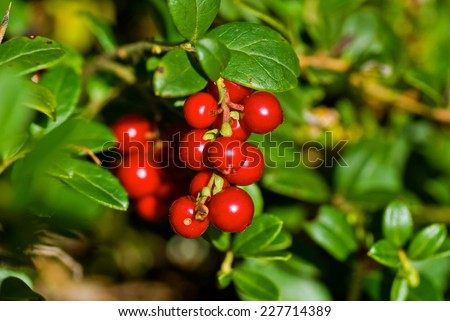 Red ripe lingonberries in forest.