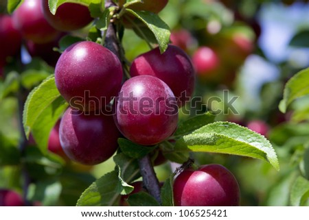 Red ripe plums on the tree - stock photo