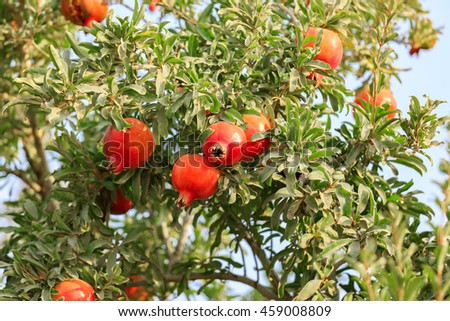 Red ripe round pomegranates on a tree