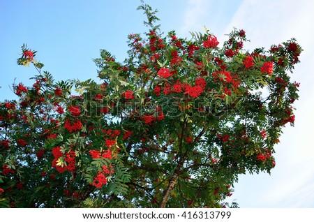 red ripe rowan berries on rowan tree on sunny autumn day - stock photo