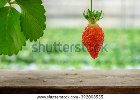 Red ripe strawberry fruit in a farm. It is planted in indoor farm, Japan. - stock photo