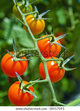 Red ripe tomatoes on the vine in full sunlight - stock photo