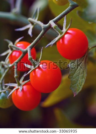 Red, ripe tomatoes still on the vine awaiting to be harvested. - stock photo