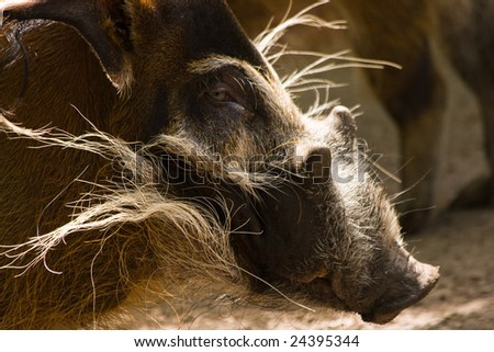 Red River Hog boar in the sun and looking - stock photo