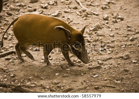Red River Hog in captivity
