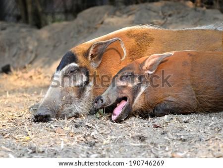 red river hog ( Potamochoerus porcus ) - stock photo