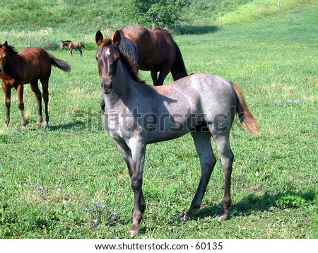 Red roan quarter horse foal standing in a pasture - stock photo