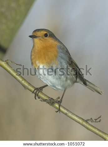 red robin - stock photo